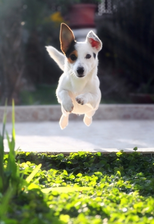 Jumping jack russell terrier for thrown ball aport. Stock Photo