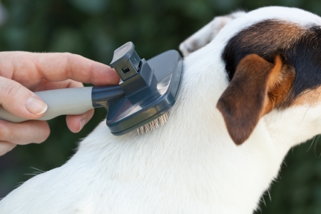 Grooming a jack russel with brush. Stock Photo - 22808029
