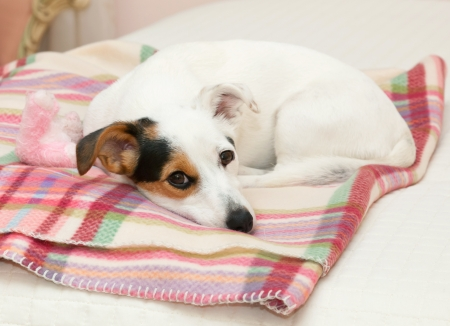 Cute Jack Russell on the pink blanket on the bed photo