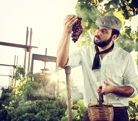 wine grower: Farmer harvesting the grape in the vineyard Stock Photo