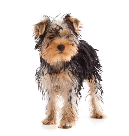 Yorkshire Terrier looking at camera on white background Stock Photo - 22808119