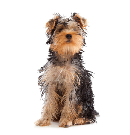 Yorkshire Terrier looking at camera on white background Stock Photo - 22808134