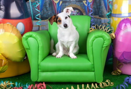 likeable: Photos of carnival with a jack russell on a green armchair.