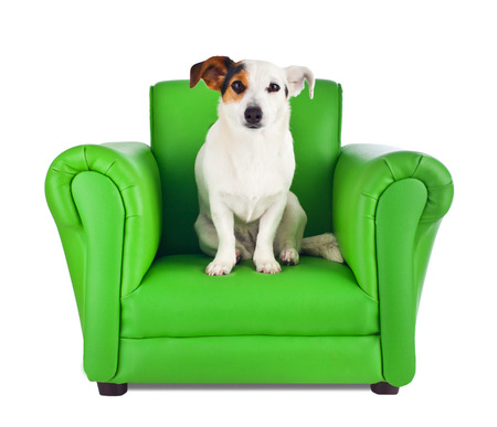 king chair: Jack russell sitting on a green armchair on white Stock Photo