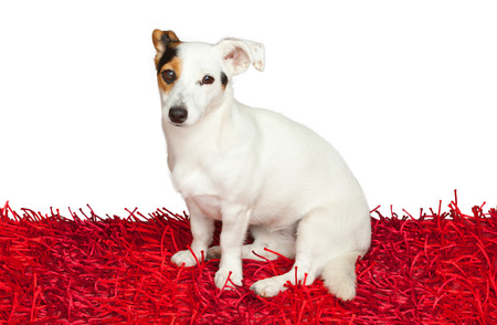 Jack russell terrier on a red carpet on white background Stock Photo - 22808153
