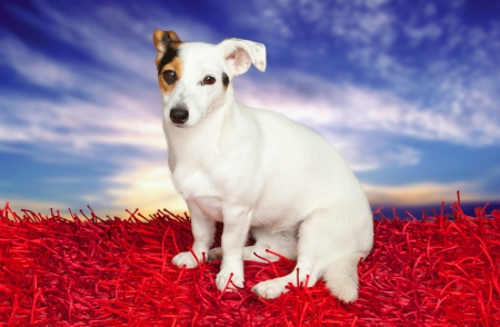 Jack russell terrier on a red carpet on sky with clouds Stock Photo - 22808154