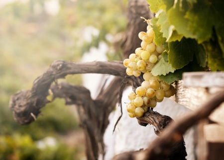 sherry: Bunch of white grapes in the vineyard in the Wine Museum of Thira, Santorini, Greece  Stock Photo