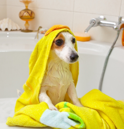 Jack Russell dog taking a bath in a bathtub photo