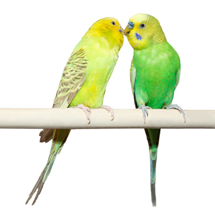 Two Budgie sit on a perch over white background Archivio Fotografico