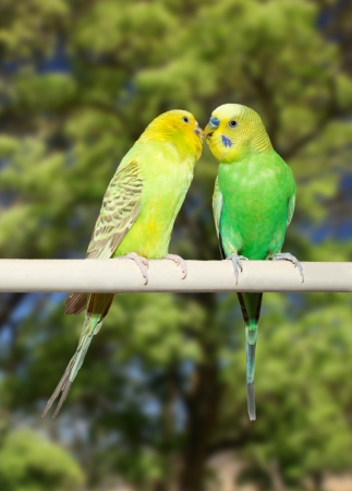 Couple of yellow and green parrots on vegetation background photo
