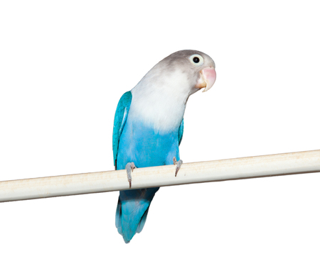Lovebird (Agapornis roseicollis blue morph) on the white background photo