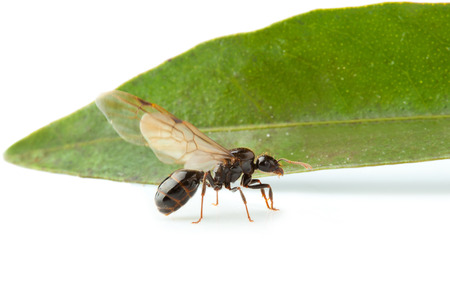 crawly: Winged ant worker with big green leaf. Stock Photo