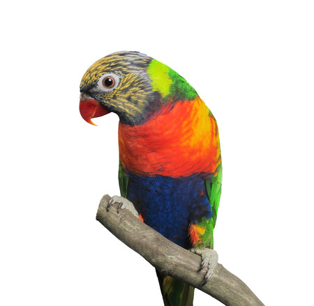 Lorikeet (Trichoglossus haematodus), isolated over white background