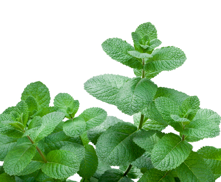Fresh mint (melissa) on a white background photo