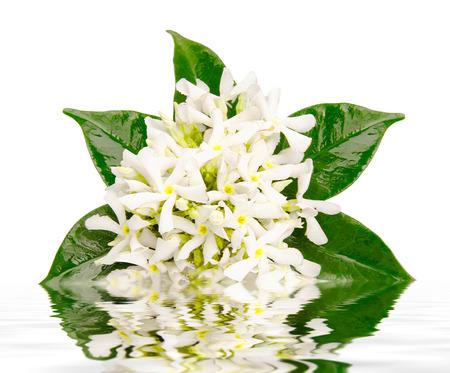 Jasmine virágok elmélkedés vízben fehér alapon Stock fotó