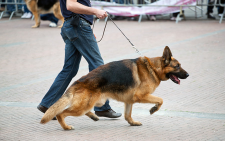 Walking dog with german shepherd with his master Stock Photo