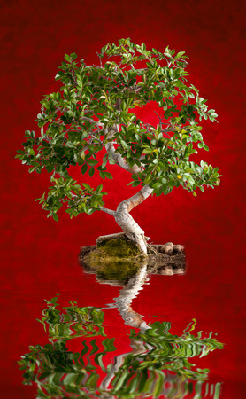Bonsai tree photographed in the studio on red background photo