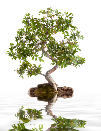 Bonsai tree photographed in the studio on white  photo
