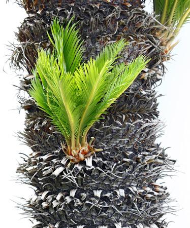 cycas: Bulb growing near the trunk of a cycas revoluta.