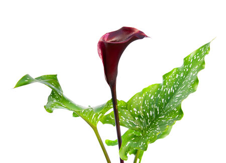 Dark purple, black calla lily plant isolated on white background photo