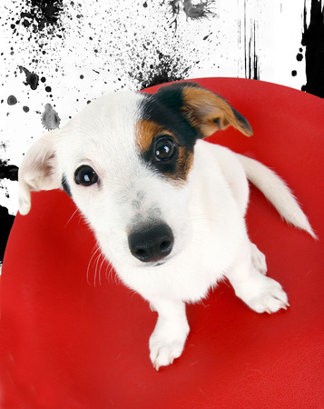 Cute Jack Russell sitting on a red stool on background of ink. photo