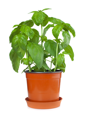 Fresh Basil Plant In A Pot on white background. photo