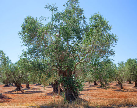 red soil: Olive grove in Salento with typical red soil.
