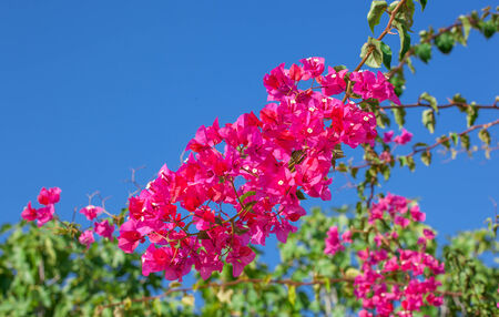 Pink blooming bougainvilleas over blue sky. photo