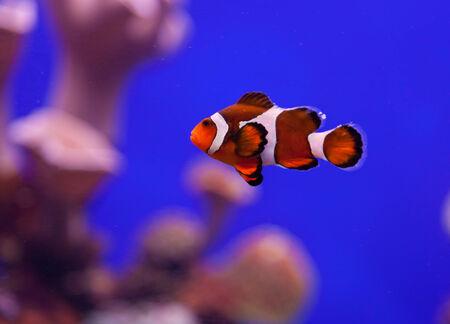 Image of clown fish in aquarium water photo