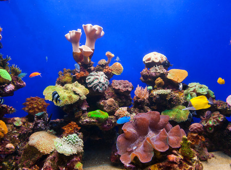 hardcoral: Photo of a tropical fish on a coral reef in an aquarium