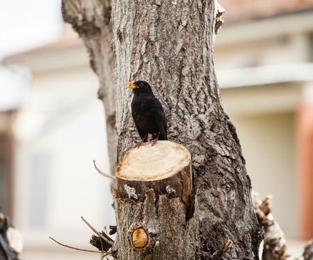 glitzy: Blackbird, turdus merula, on the trunk of a tree pruned.