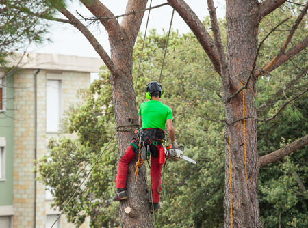 Man with safety equipment and chainsaw pruning pine tree. Archivio Fotografico