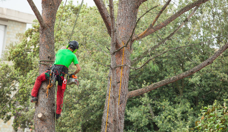 pruning: Man with safety equipment and chainsaw pruning pine tree. Stock Photo