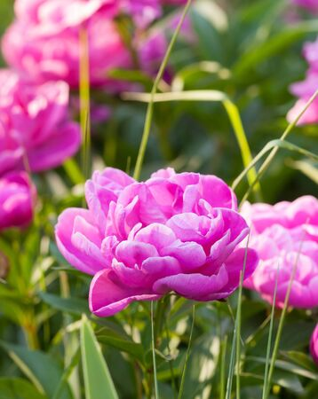 backlite: Pink peony in a garden with many other flowers