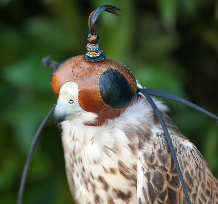 peregrine: Beautiful trained Peregrine falcon with mask