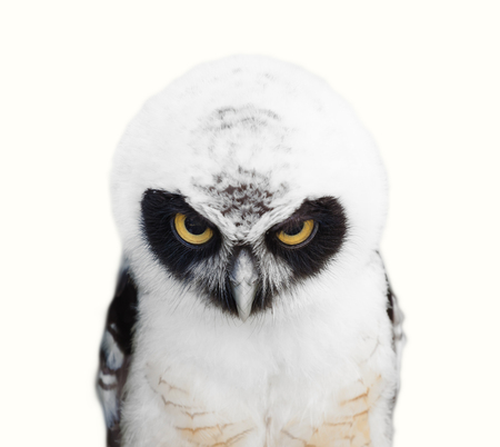 Portrait of young Spectacled Owl (Pulsatrix perspicillata) on white background