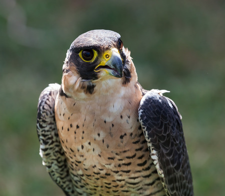 falco peregrinus: Close up of the face of a Peregrine Falcon (Falco peregrinus). Stock Photo