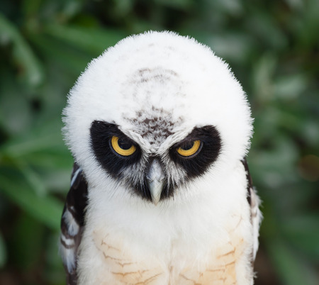 spectacled: Portrait of young Spectacled Owl (Pulsatrix perspicillata) Stock Photo