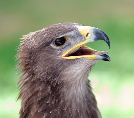 aigle royal: Gros plan de la tête d'un aigle royal Banque d'images