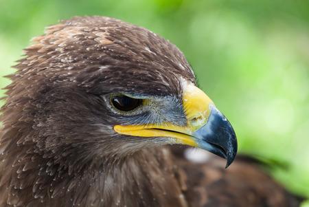aguila real: Detalle de la cabeza de un águila real