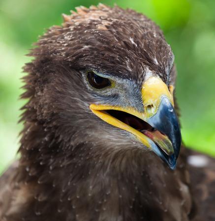 aigle royal: Gros plan de la t�te d'un aigle royal Banque d'images