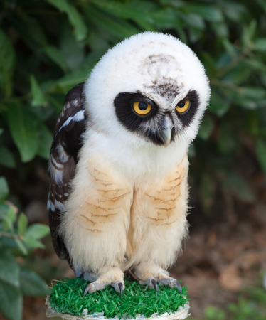naughty or nice: Portrait of young Spectacled Owl (Pulsatrix perspicillata) Stock Photo