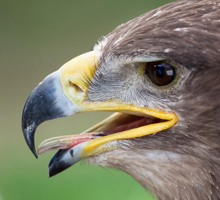 chrysaetos: Closeup of the head of a golden eagle