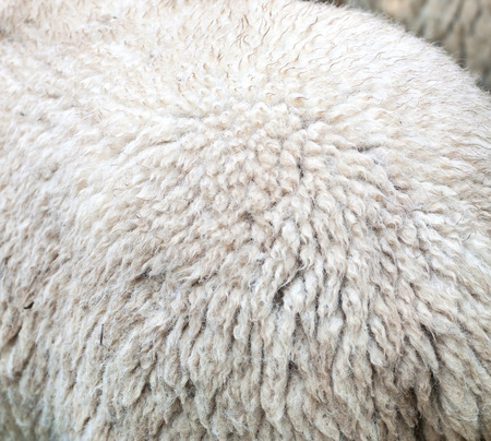 Close up of the fur of a sheep for the production of merino wool Stock Photo
