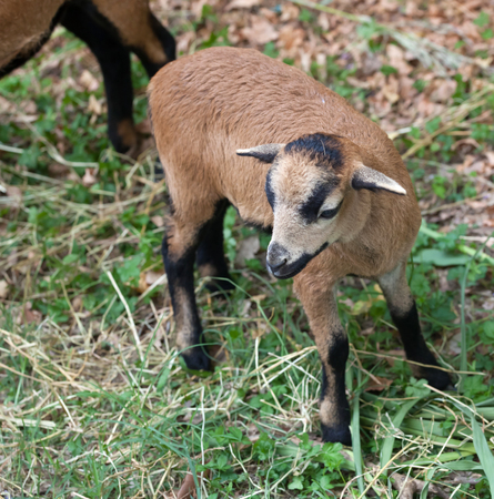 ovine: Close up of young sheep of Cameroon
