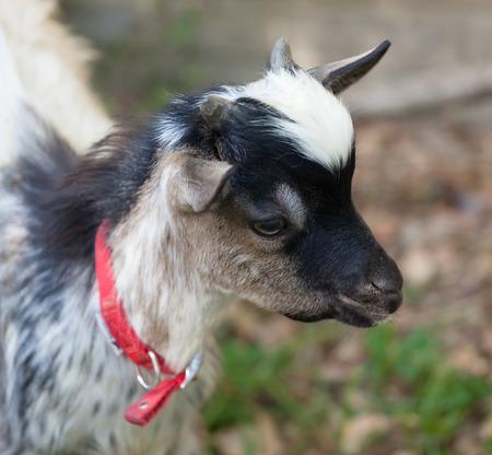 head close up: Head close up of  little tibetan goat Stock Photo