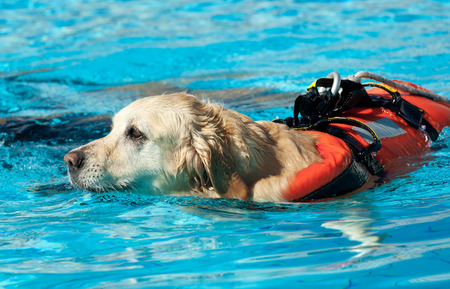 rescuing: Lifeguard dog, rescue demonstration with the dogs in the pool.