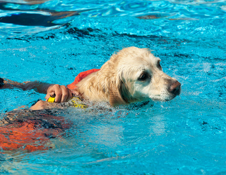 baywatch: Lifeguard dog, rescue demonstration with the dogs in the pool.