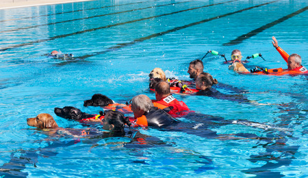 baywatch: EMPOLI, ITALY - SEPTEMBER 20, 2015: Lifeguard dogs, italian school Cani Salvataggio - S.I.C.S. Rescue demonstration in swimming pool.