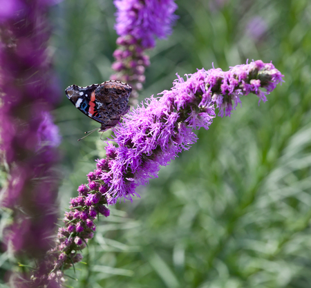 amaranthine: Butterfly on purple flowers in the sunlight. Stock Photo
